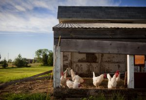 Hühnerstall artgerecht einrichten