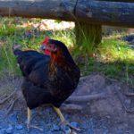 Scharraum - Hühnerstall artgerecht einrichten